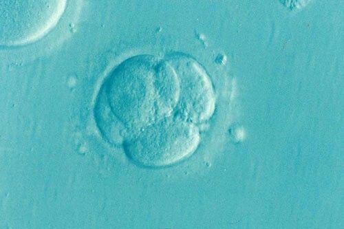 vista microscópica de una fecundación in vitro